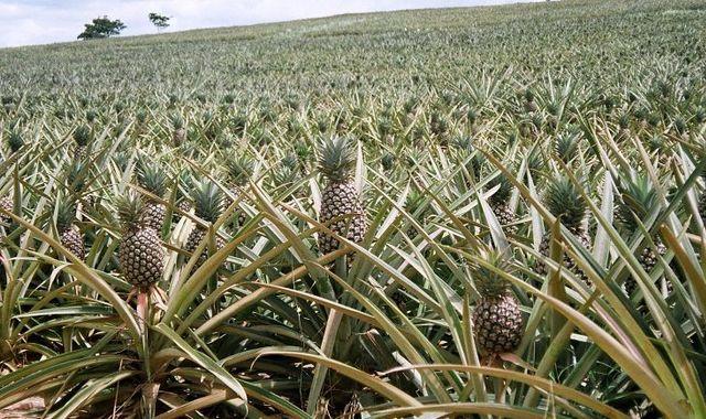 Плантации ананаса