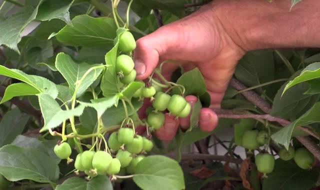 Неспелые плоды киви