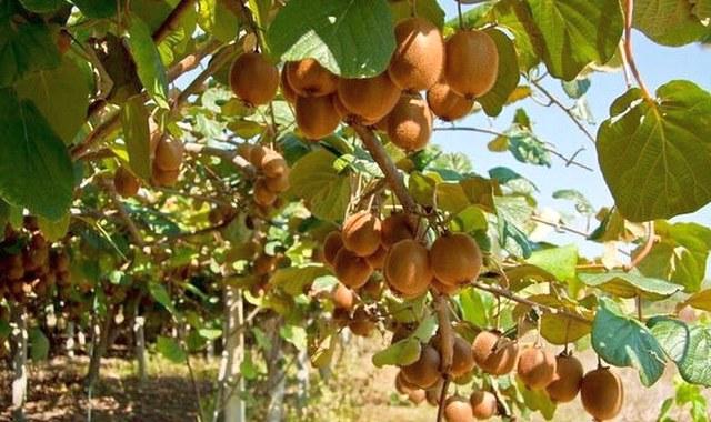 Спелые плоды киви