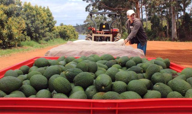 Транспортировка авокадо