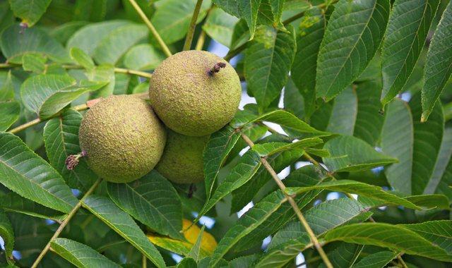 Грецкий орех растет на дереве