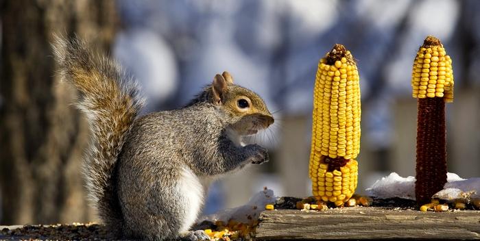 Кукуруза укрепляет здоровье сердца
