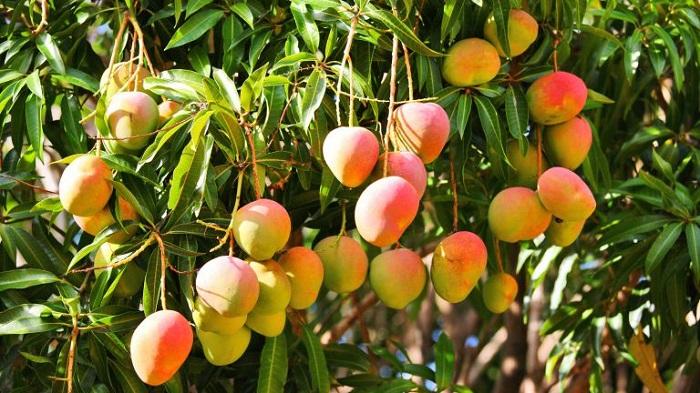Манго растет на дереве