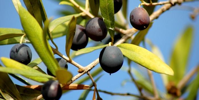 Листья оливы названы мощнейшим средством против рака