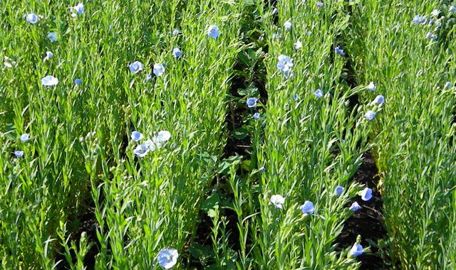 Выращивание льна
