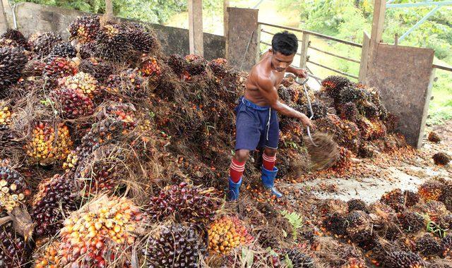 Сбор плодов мясистой части масляной пальмы