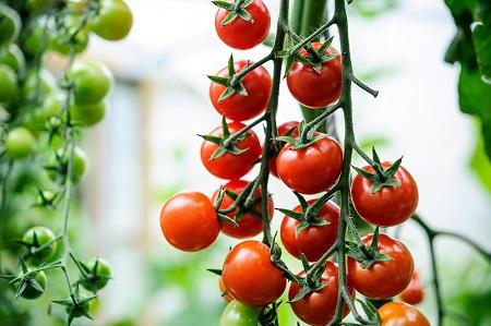 tomati cherri правильно выбирать  томаты