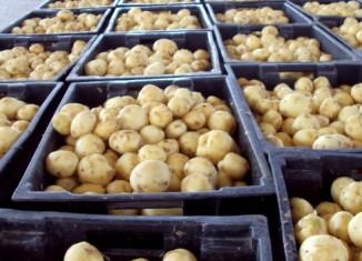 Картофель хранится в ящиках